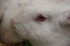 Ciérrese encima de conejo del hocico Foto de archivo libre de regalías