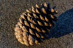 Ciérrese encima de cono del pino por la mañana Imagenes de archivo