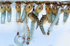 Crisálidas y larvas del mosquito imagenes de archivo