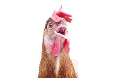 Ciérrese encima de cuenta, beak, observe y cara del ganado del pollo con el funn Imagenes de archivo