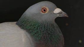 Ciérrese encima de cuenta y de cara del pájaro masculino de la paloma en negro almacen de metraje de vídeo
