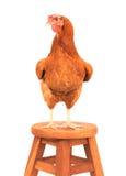 Ciérrese encima de cuerpo completo del retrato de la gallina marrón de los huevos de la hembra que se coloca sh Foto de archivo