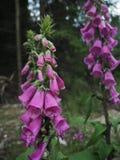 Ciérrese encima de dedaleras rosadas en bosque imagen de archivo