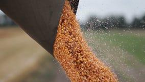 Ciérrese encima de descargar una cosecha de parachoques del maíz almacen de metraje de vídeo