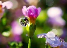 Ciérrese encima de descensos del agua en la flor rosada foto de archivo