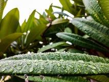 Ciérrese encima de descensos del agua en las hojas verdes fotografía de archivo