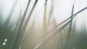 Ci?rrese encima de descensos de roc?o en hierba verde clara con la llamarada del sol Descensos hermosos del agua en hierba verde  almacen de video