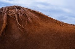 Ciérrese encima de docenas de moscas en la parte de atrás de un caballo marrón con el pelo hermoso fotografía de archivo
