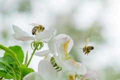 Ciérrese encima de dos abejas que recogen el polen en las flores blancas de la manzana tr Fotografía de archivo libre de regalías