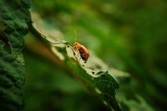 Ciérrese encima de escarabajo en la hoja verde Imagenes de archivo