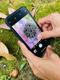 Ciérrese encima de femenino con el teléfono de la cámara que fotografía las semillas en la hoja seca foto de archivo