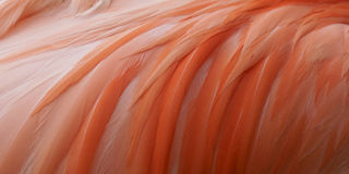 Ciérrese encima de flamenco rosado Imagenes de archivo