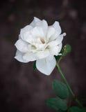Ciérrese encima de fondo de la flor blanca Imagenes de archivo