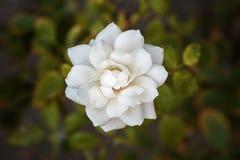 Ciérrese encima de fondo de la flor blanca Foto de archivo libre de regalías