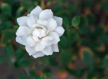 Ciérrese encima de fondo de la flor blanca Imagen de archivo