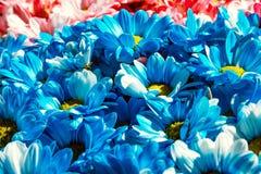 Ciérrese encima de fondo de las flores Ramo de los crisantemos ` S de la madre y día para mujer Color azul Foto de archivo