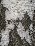 Ciérrese encima de fondo natural de la corteza de árbol de abedul Fotografía de archivo libre de regalías