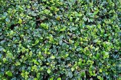Ciérrese encima de fondo tropical de la textura de la hoja del verde de la naturaleza del detalle Fotos de archivo