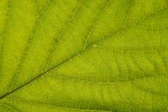 Ciérrese encima de fondo verde de la textura del extracto del detalle de la hoja Fotografía de archivo libre de regalías