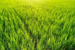 Ciérrese encima de fondo verde hermoso del extracto del campo del arroz Imagenes de archivo