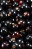 Ciérrese encima de fresco orgánico de las bayas de las grosellas negras escogido Foto de archivo libre de regalías