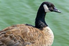 Ciérrese encima de ganso salvaje en el lago Fotografía de archivo