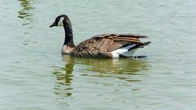 Ciérrese encima de ganso salvaje en el lago Fotografía de archivo libre de regalías