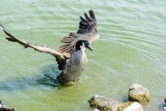 Ciérrese encima de ganso salvaje en el lago Fotos de archivo libres de regalías
