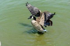 Ciérrese encima de ganso salvaje en el lago Foto de archivo libre de regalías
