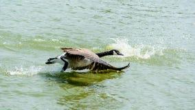 Ciérrese encima de ganso salvaje en el lago Imagen de archivo libre de regalías