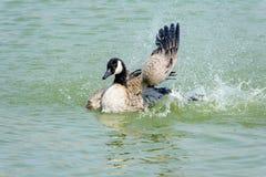 Ciérrese encima de ganso salvaje en el lago Foto de archivo