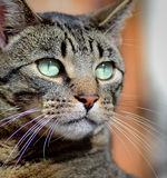 Ciérrese encima de gato Foto de archivo libre de regalías