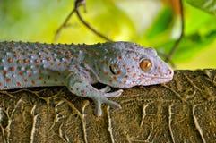 Ciérrese encima de gecko. Imagen de archivo libre de regalías