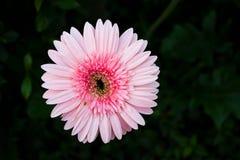 Ciérrese encima de Gerbela rosado Fotos de archivo libres de regalías