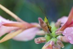 Ciérrese encima de glasshopper en la flor Imágenes de archivo libres de regalías