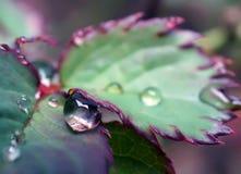 Ciérrese encima de gota de lluvia en la licencia de rosas en un día lluvioso imagen de archivo libre de regalías
