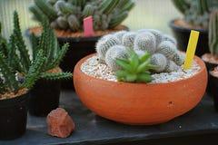 Ciérrese encima de granja del cactus Fotografía de archivo libre de regalías