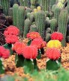 Ciérrese encima de granja del cactus Imágenes de archivo libres de regalías