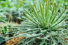 Ciérrese encima de granja del cactus Fotografía de archivo