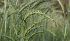Ciérrese encima de grano del trigo Foto de archivo libre de regalías