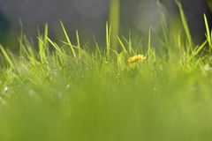 Ciérrese encima de hierba verde con la flor amarilla Fotos de archivo libres de regalías
