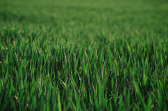 Ciérrese encima de hierba verde de la primavera Fotografía de archivo libre de regalías