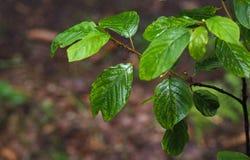 Ciérrese encima de hormigas en una rama de árbol mojada de haya Imágenes de archivo libres de regalías