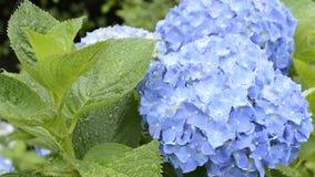 Ciérrese encima de hortensia azul Imagen de archivo