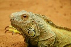 Ciérrese encima de iguana Fotografía de archivo