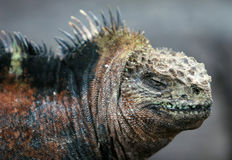 Ciérrese encima de iguana marina fotos de archivo libres de regalías
