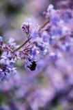 Ciérrese encima de imagen del paisaje salvaje de la planta de la lavanda con manosean la abeja Imagen de archivo libre de regalías