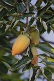 Ciérrese encima de imagen de las frutas del caqui japonés Fotos de archivo