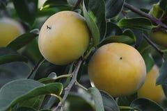 Ciérrese encima de imagen de las frutas del caqui japonés Imagenes de archivo