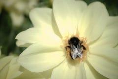 Ciérrese encima de imagen de un abejorro en una dalia amarilla Foto de archivo libre de regalías